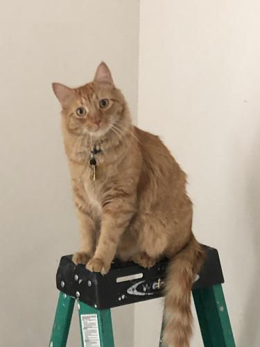 Lost Male Cat last seen Marcus Drive and Old Oyster Point Rd, Newport News, VA 23602