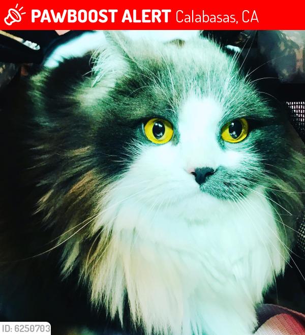 Lost Female Cat last seen Augora road , Calabasas, CA 91302