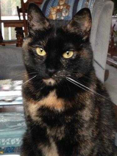 Lost Female Cat last seen Cherry court and Edgewater court, Marion, IN 46953