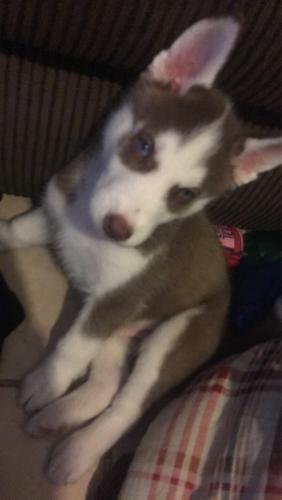 Lost Male Dog last seen Walgreens, Twin Falls, ID 83301