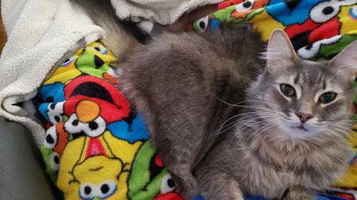 Lost Male Cat last seen Nommo and Holland , Virginia Beach, VA 23453