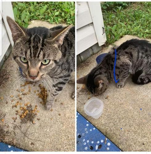Found/Stray Male Cat last seen Denbigh area, Newport News, VA 23602
