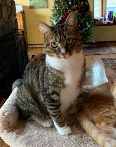 Lost Female Cat last seen Heatherly Heights and Page Mountain Road, Saluda, NC 28773