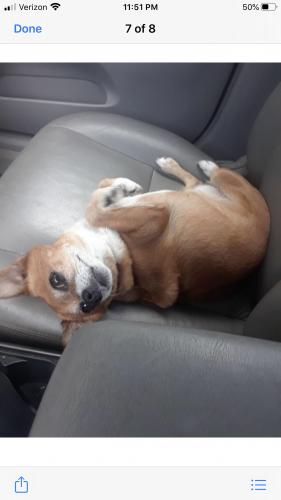 Lost Female Dog last seen Goodwill @ Plantation , Plantation, FL 33322