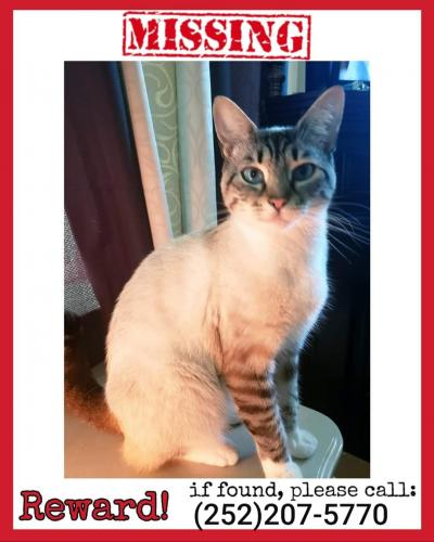 Lost Female Cat last seen Canal Drive & Military , Chesapeake, VA 23323