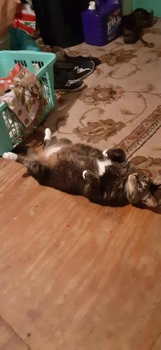 Lost Male Cat last seen Galberry road, Chesapeake, VA 23323