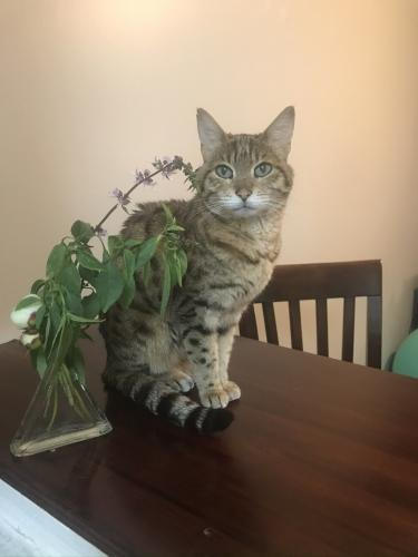 Lost Female Cat last seen Hayshire ct & carrington hill, Gaithersburg, MD 20878