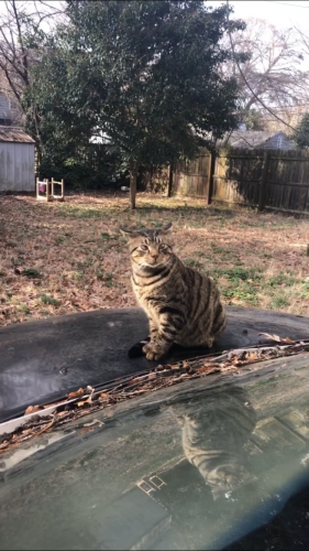 Lost Male Cat last seen Sheffield lane, Yorktown, VA 23693