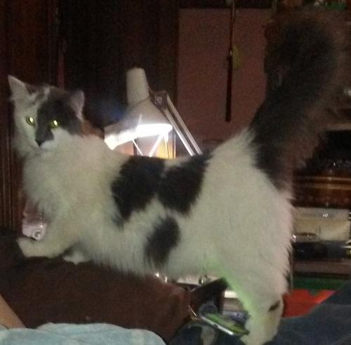 Lost Male Cat last seen Near and cottage grove, Uniontown, OH 44685