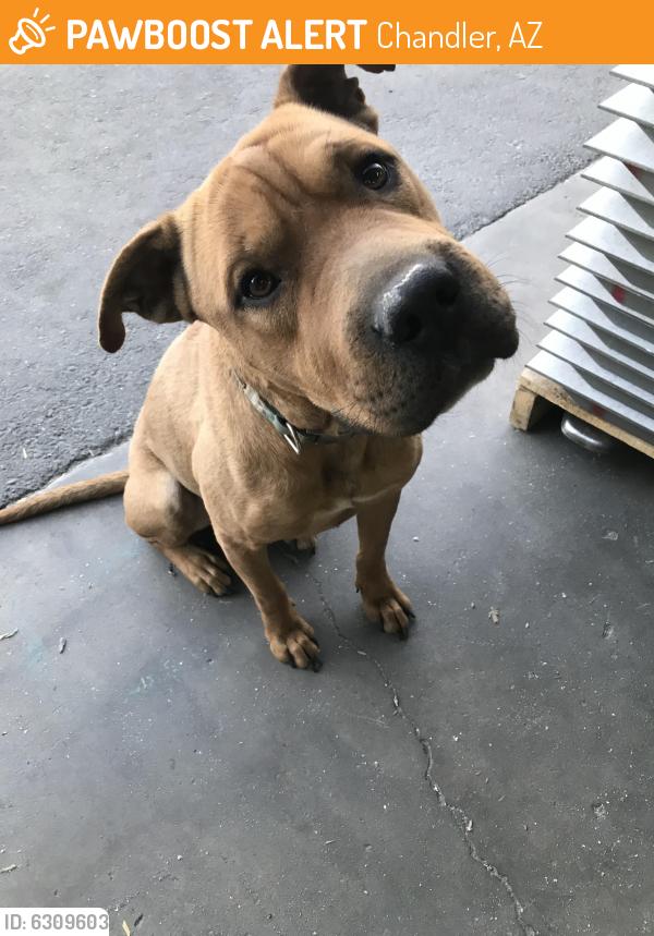 Rehomed Male Dog last seen Near E Boston Circle, Chandler, AZ , Chandler, AZ 85225