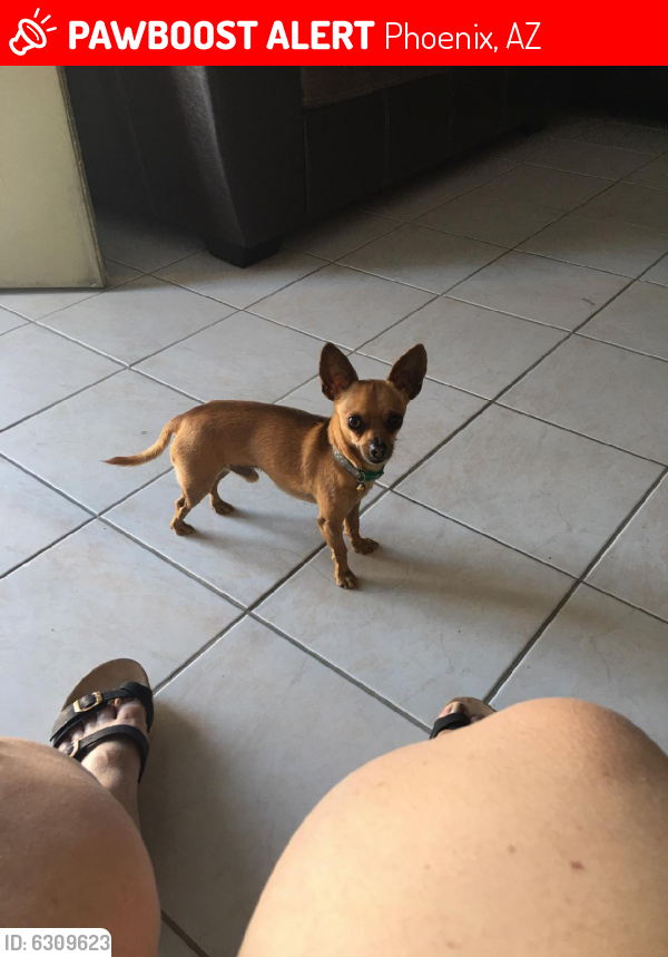 Lost Male Dog last seen 31st Ave and cactus, Phoenix, AZ 85029