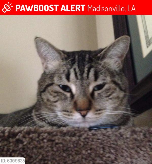 Found/Stray Male Cat last seen Elmwood Loop back yard, Madisonville, LA 70447