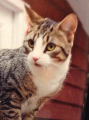 Lost Male Cat last seen Pleasant Ridge Road and Bendixen Circle, Cresco, PA 18326