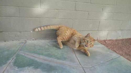 Lost Male Cat last seen 7th st and thomas, Phoenix, AZ 85008
