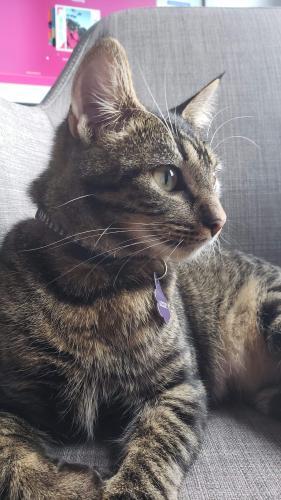 Lost Female Cat last seen Chimney hill, Virginia Beach, VA 23462