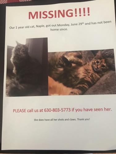Lost Female Cat last seen Wyndham ct, Aurora, IL 60504