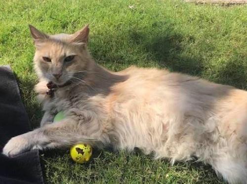 Lost Male Cat last seen James Alan Street & Lawrence Drive, Cypress, CA, Cypress, CA 90630