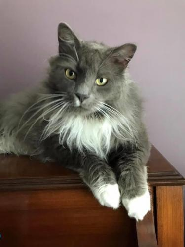 Lost Male Cat last seen Beeblossom Lane and Bellflower Way, Chesapeake, VA 23320