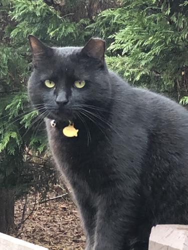 Lost Male Cat last seen Near Oak Hill Rd Chapel Hill NC 27514, Chapel Hill, NC 27514