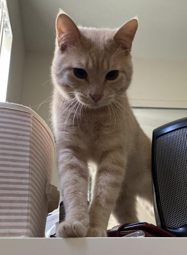 Lost Male Cat last seen The grass land near 3612 Linda Vista Rd, Glendale, CA 91206, Glendale, CA 91206
