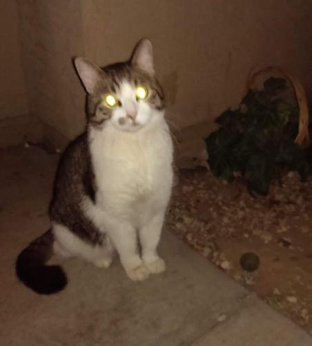 Lost Male Cat last seen Beck and university, Tempe, AZ 85281