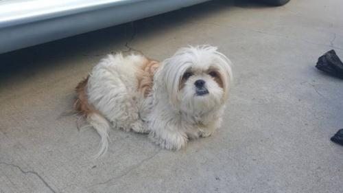 Lost Female Dog last seen Figueroa and 168th Street , Los Angeles, CA 90248