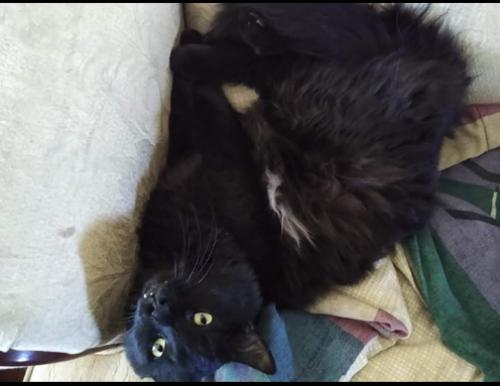 Lost Male Cat last seen Cambridge and 16th St, Thomas road, Phoenix, AZ 85016