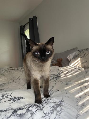 Lost Male Cat last seen Near Flaxton pl, Alexandria, VA 22303