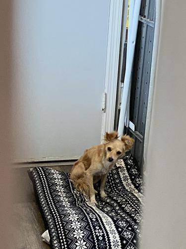 Found/Stray Female Dog last seen North 7th st and Lincoln, Montebello, CA 90640