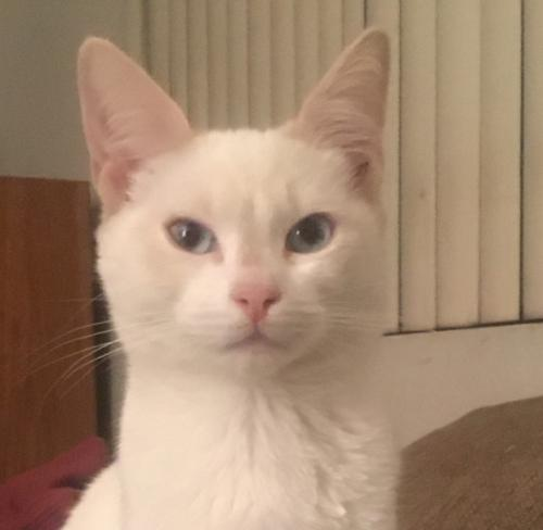 Lost Female Cat last seen Cahuenga Blvd, Los Angeles, CA 91602