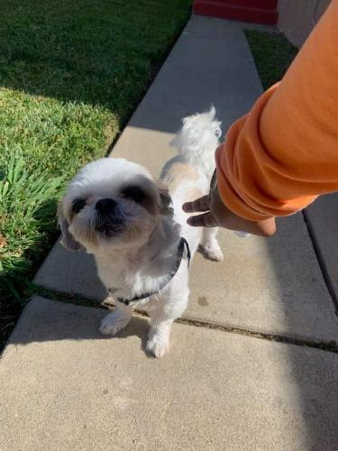 Lost Female Dog last seen 116th & Wilton place @5pm, Hawthorne, CA 90250