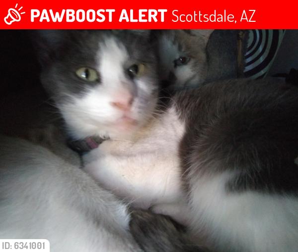 Lost Female Cat last seen 68th St/South of McDowell Rd, Scottsdale, AZ 85257