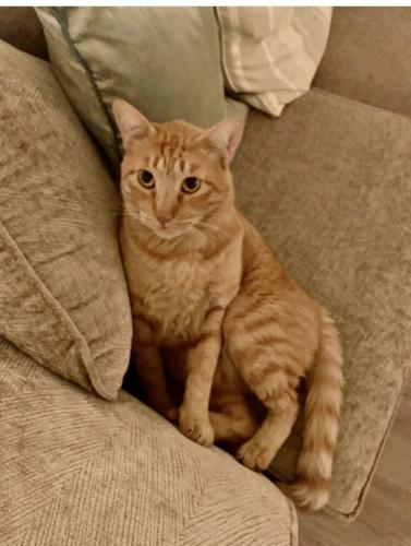 Lost Male Cat last seen Califa street Woodland Hills , Los Angeles, CA 91367