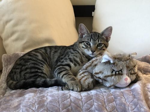 Lost Male Cat last seen Near Mayfair Drive, Pasadena CA 91107, Pasadena, CA 91107