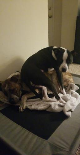 Lost Female Dog last seen Near 19th bay street norfolk va 23518, Norfolk, VA 23518