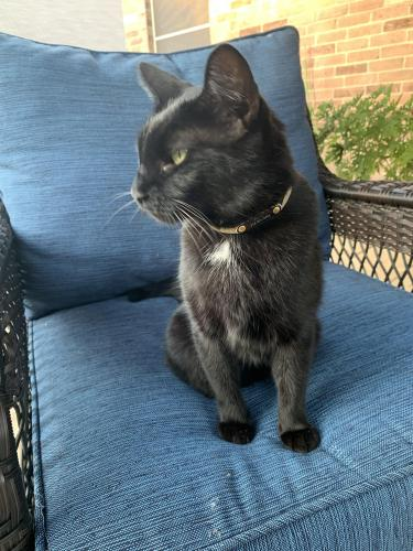 Lost Female Cat last seen Boulder River Trl/Sunglow Trl, McKinney, TX 75070