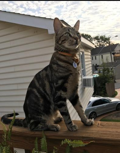 Lost Male Cat last seen Baltic Ave & 14th Street, Virginia Beach, VA 23451