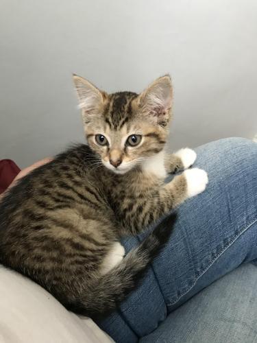 Lost Male Cat last seen Catalina and Kim terrace , Virginia Beach, VA 23452