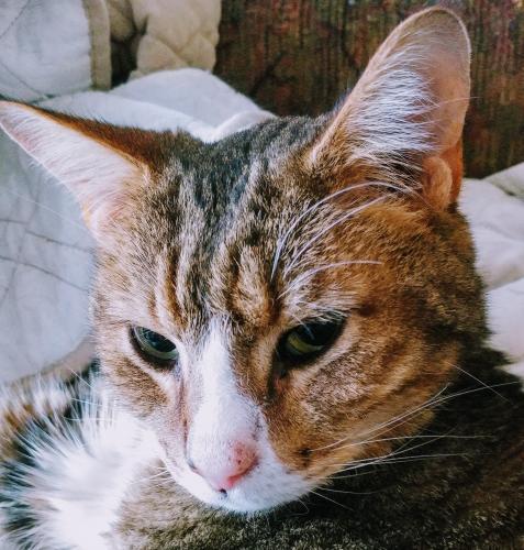 Lost Male Cat last seen Pine Ridge Drive South Mills NC, South Mills, NC 27976