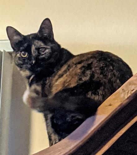 Lost Female Cat last seen S 23rd Dr x Saint Catherine, Phoenix, AZ 85041