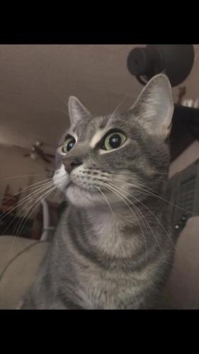 Lost Female Cat last seen Hollywood/Fuller , Los Angeles, CA 90046