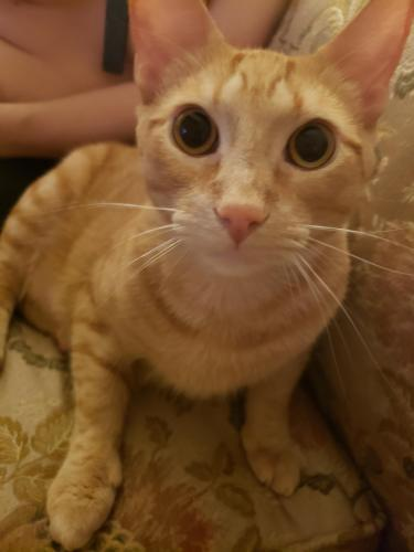 Lost Male Cat last seen Near kellam road Virginia beach va 23462, Virginia Beach, VA 23462