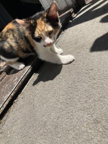Lost Female Cat last seen Arlington place off near the Kroger and Walmart area, Portsmouth, VA 23707