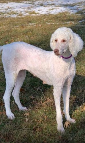 Lost Female Dog last seen Harts golf course, Marion, IN 46952