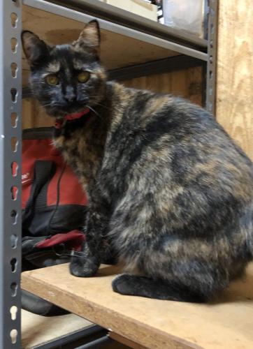 Lost Female Cat last seen Bower Hill area in Chesapeake , Chesapeake, VA 23321