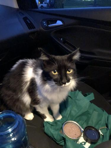 Found/Stray Female Cat last seen Upton and sandbridge , Virginia Beach, VA 23454