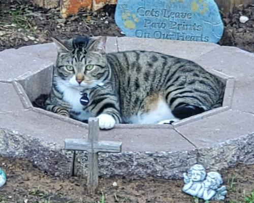 Lost Male Cat last seen Quail Lane & Hedgeway Drive, Arlington, TX 76016