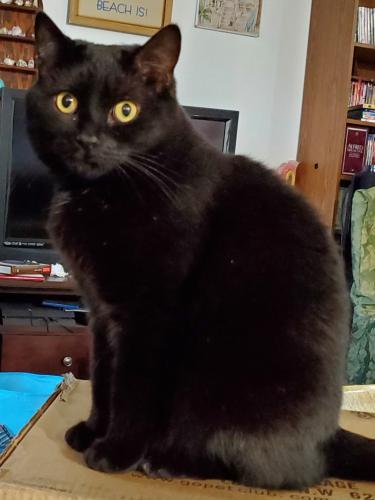 Lost Female Cat last seen Salem Lakes Blvd and Antelope Place, Virginia Beach, VA 23456