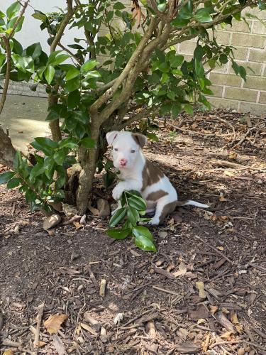 Lost Male Dog last seen Penninsula Grove Apartments, Hampton, VA 23666