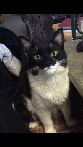 Lost Male Cat last seen Near E 1100 N North Manchester Indiana, North Manchester, IN 46962